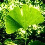 Ginkgo-biloba – El árbol de la longevidad