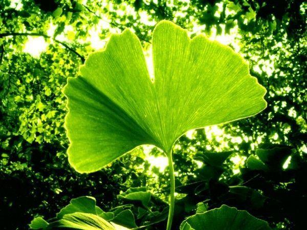 Ginkgo biloba – El árbol de la longevidad