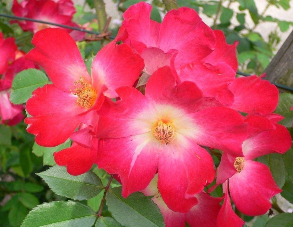 Aceite de rosa mosqueta para todo el cuerpo