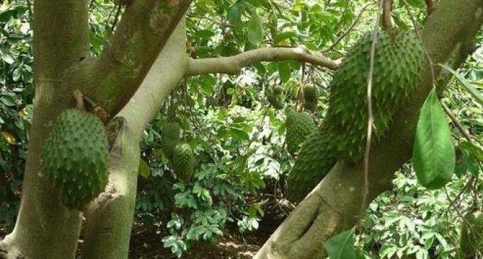 Graviola o guanábana (parte I)