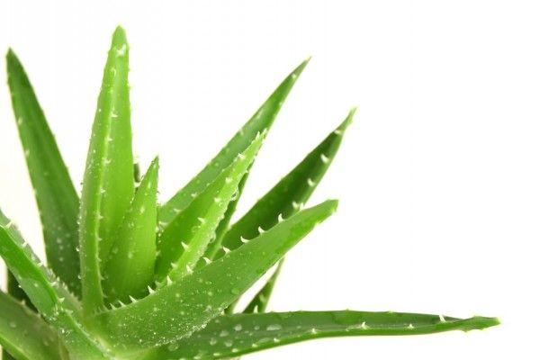 El Aloe Vera – Una planta valiosa