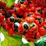 Guaraná o Paullinia cupana