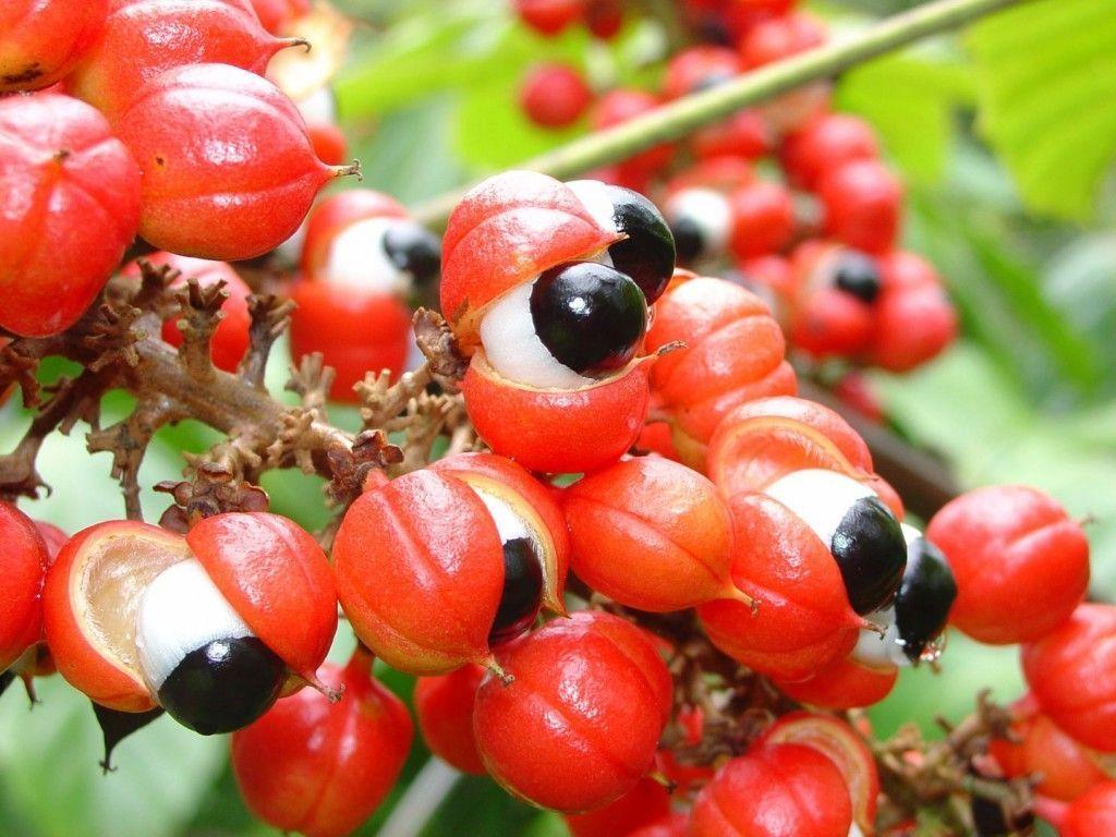 Semilla de guaraná (Paullinia cupana)
