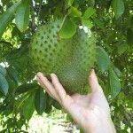 La graviola o guanábana, un fruto milagroso