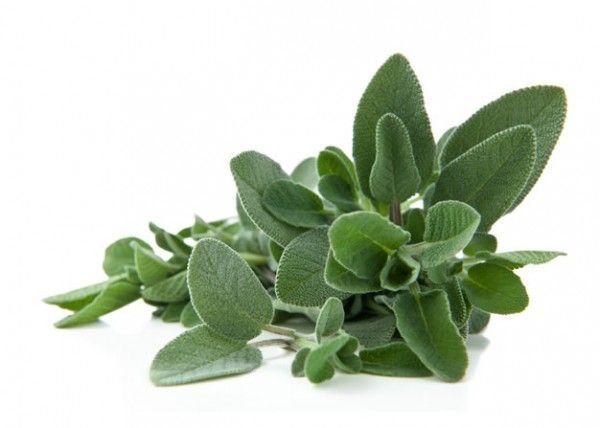 La Salvia – Una hierba para las mujeres