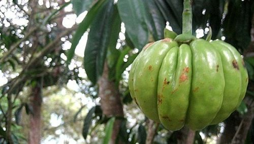 Garcinia cambogia – ¿Fruta o terapia reductora?