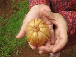 Garcinia cambogia –  ¿Fruta o terapia contra el sobrepeso?