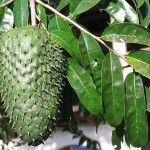 Graviola o guanábana en la lucha contra el Cáncer