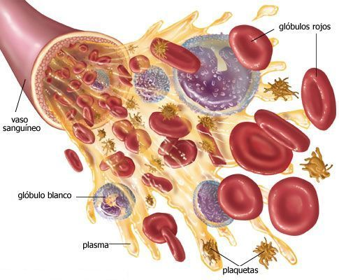 Resultado de imagen para tejido sanguineo
