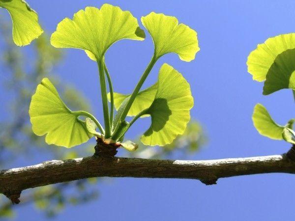 Ginkgo biloba, un árbol único en el mundo