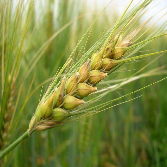 Cebada – El cereal más antiguo