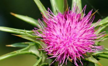Cardo Mariano – Una planta para tener a mano
