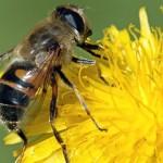 Veneno de abeja o Apitoxina