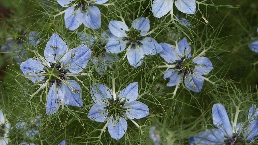 Aceite de comino negro (Nigella Sativa Seed Oil)