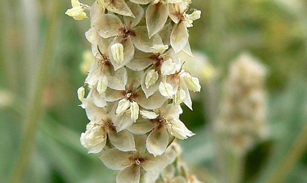 Plantago Ovata o Psyllium (psilio, ispágula, Ispaghul)