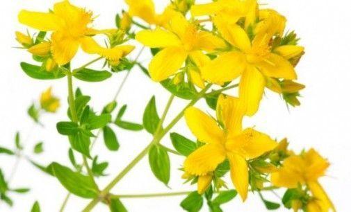 Hipérico – La planta del optimismo