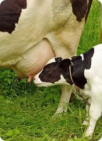 Calostro bovino