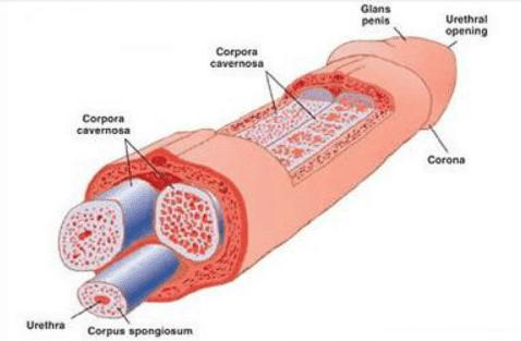 Cuerpos cavernosos del pene