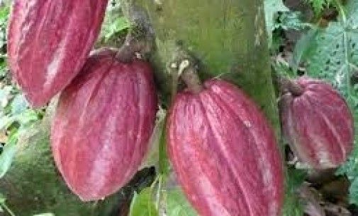 Cacao amazónico (cocoa)