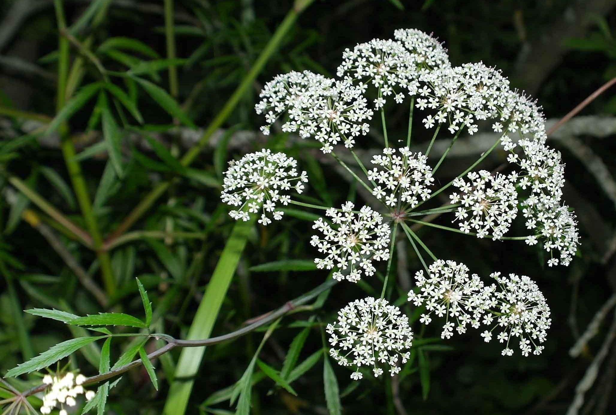 Plantas venenosas las m s peligrosas del mundo - Plantas ornamentales venenosas ...