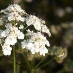 Plantas venenosas – Las más peligrosas del mundo