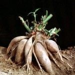 Yacón – Una raíz con grandes beneficios
