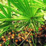Saw palmetto o serenoa repens