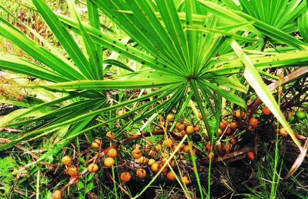 Saw palmetto – Propiedades y efectos secundarios