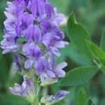 Alfalfa – Una de las fuentes más ricas en clorofila