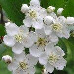 Espino blanco – Planta de referencia para patolgías del corazón
