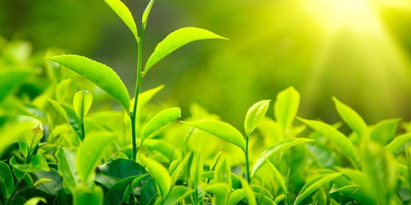 L-teanina – Un relajante natural que proviene del té verde