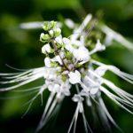 Ortosifón – El diurético y desintoxicante por excelencia