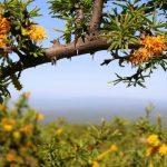 El valioso aceite de espino amarillo