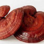 ganoderma lucidium o reishi