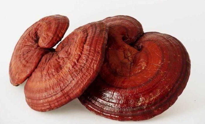Ganoderma lucidium – Conocidísimo hongo de la medicina oriental
