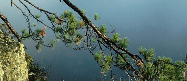 El Pycnogenol (picnogenol) se extrae de la corteza de  un pino