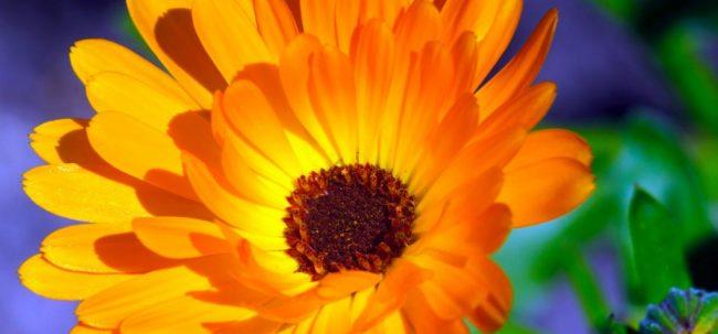 Caléndula – Una flor con beneficios para la salud