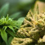 El cáñamo y la marihuana. Diferencias